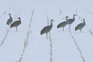 SANDHILL CRANES IN SNOW